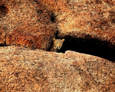 Leopard in Cave