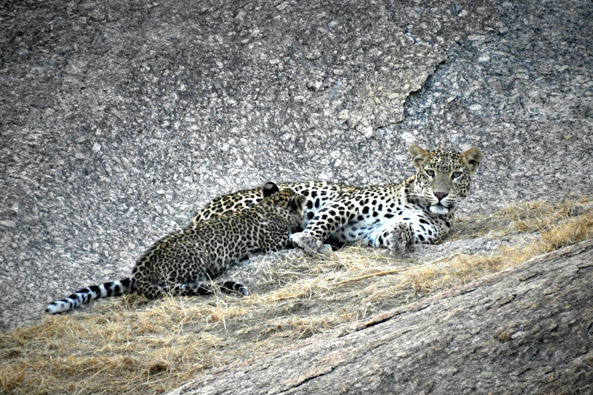 Leopard with cubs in Jawai